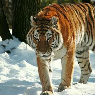 B0294152eb 50009101 tigre siberie amour danger alan ator cc by 02