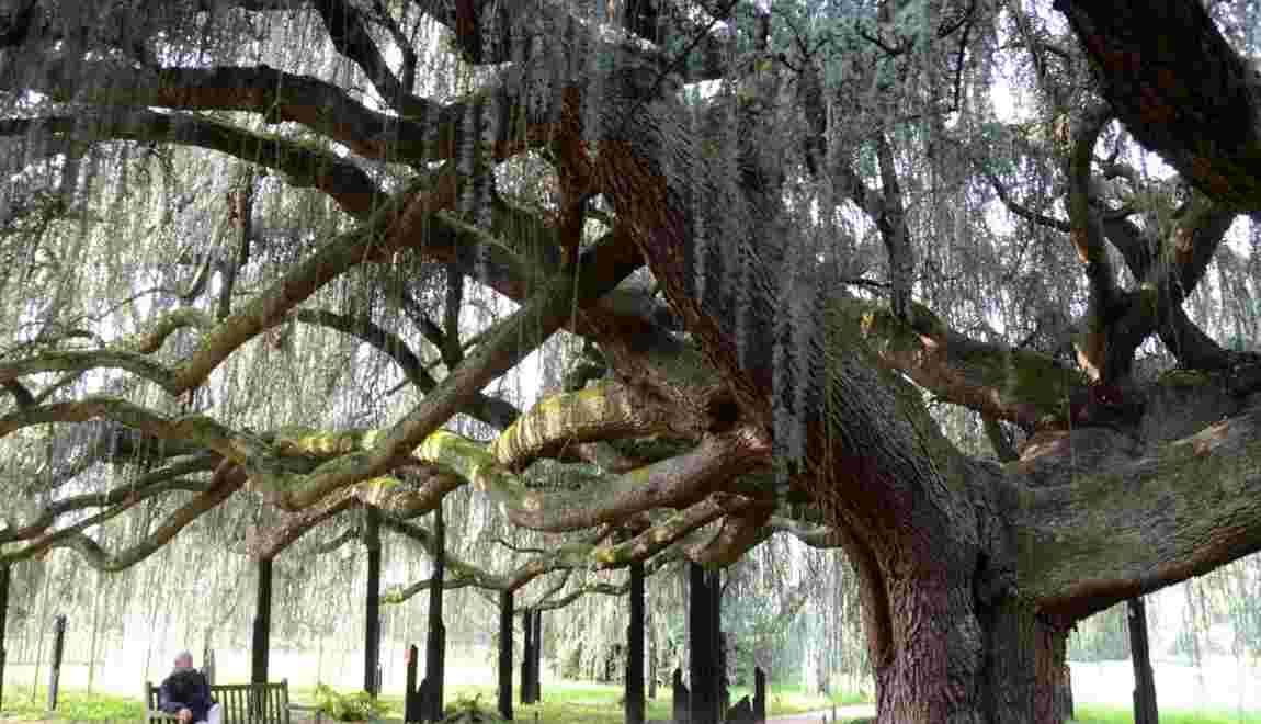 Photos 10 arbres remarquables qui peuplent nos contrees